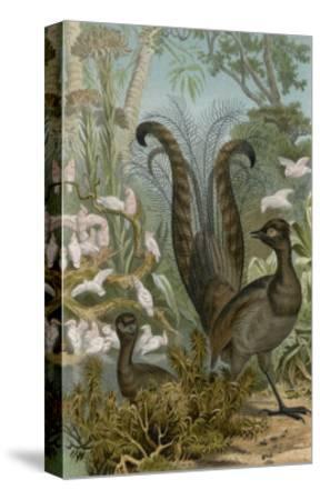 Lyre Bird--Stretched Canvas Print