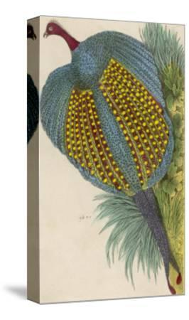 Argus Pheasant--Stretched Canvas Print