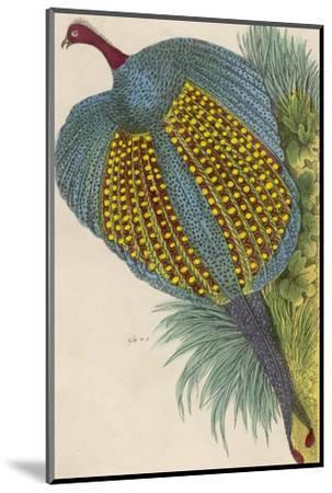 Argus Pheasant--Mounted Giclee Print