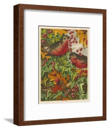 Two Robins Among Berries--Framed Giclee Print