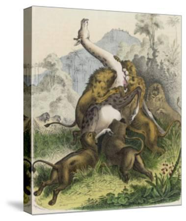 Giraffe Attacked by Six Lions--Stretched Canvas Print