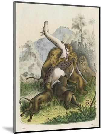 Giraffe Attacked by Six Lions--Mounted Giclee Print