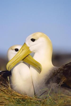 Waved Albatross, Pair Bonding, Espanola Island, Galapagos-Mark Jones-Stretched Canvas Print