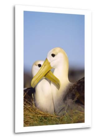 Waved Albatross, Pair Bonding, Espanola Island, Galapagos-Mark Jones-Metal Print
