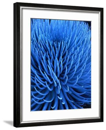 The Endangered Silversword Plant is Indigenous Only to Mount Haleakala, Maui, Hawaii, USA-Wes Walker-Framed Photographic Print