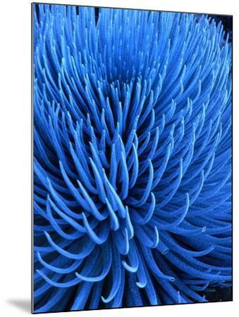 The Endangered Silversword Plant is Indigenous Only to Mount Haleakala, Maui, Hawaii, USA-Wes Walker-Mounted Photographic Print