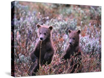 Two Grizzly Cubs (Ursus Arctos), Denali National Park & Preserve, Alaska, USA-Mark Newman-Stretched Canvas Print