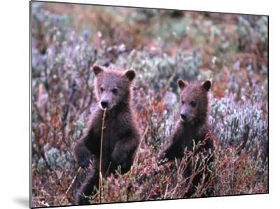 Two Grizzly Cubs (Ursus Arctos), Denali National Park & Preserve, Alaska, USA-Mark Newman-Mounted Photographic Print