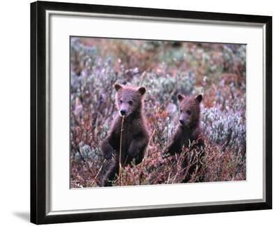 Two Grizzly Cubs (Ursus Arctos), Denali National Park & Preserve, Alaska, USA-Mark Newman-Framed Photographic Print