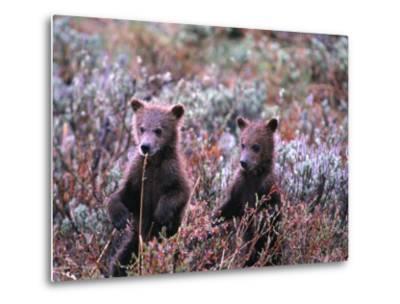 Two Grizzly Cubs (Ursus Arctos), Denali National Park & Preserve, Alaska, USA-Mark Newman-Metal Print