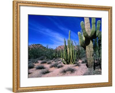 Saguaro Forest, Organ Pipe Cactus National Monument in the Sonoran Desert, Arizona, USA-Carol Polich-Framed Photographic Print