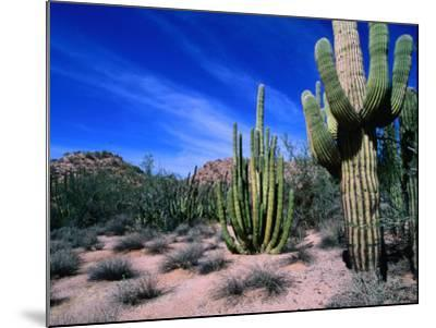 Saguaro Forest, Organ Pipe Cactus National Monument in the Sonoran Desert, Arizona, USA-Carol Polich-Mounted Photographic Print