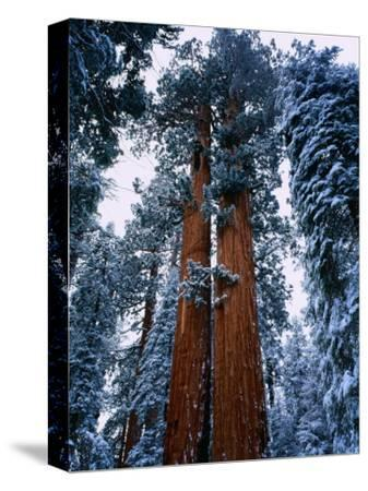 Giant Sequoia Tree Sequoia National Park, California, USA-Rob Blakers-Stretched Canvas Print