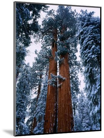 Giant Sequoia Tree Sequoia National Park, California, USA-Rob Blakers-Mounted Photographic Print
