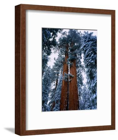 Giant Sequoia Tree Sequoia National Park, California, USA-Rob Blakers-Framed Photographic Print