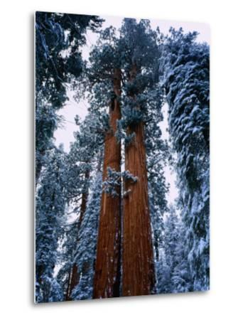 Giant Sequoia Tree Sequoia National Park, California, USA-Rob Blakers-Metal Print