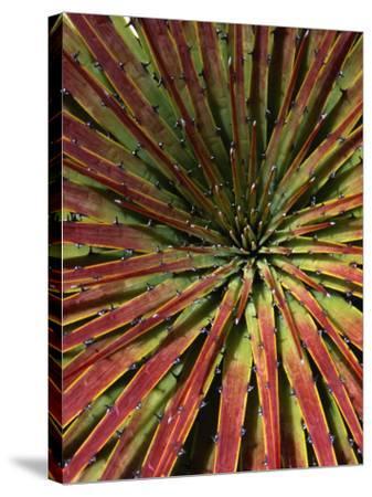 Detail of Spiky-Leafed Puya (Bromeliad), Cajas National Park, Azuay, Ecuador-Grant Dixon-Stretched Canvas Print