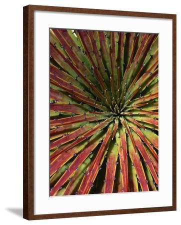Detail of Spiky-Leafed Puya (Bromeliad), Cajas National Park, Azuay, Ecuador-Grant Dixon-Framed Photographic Print
