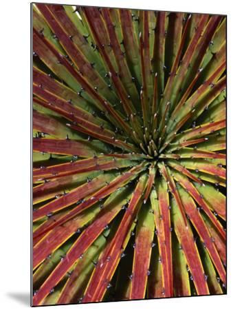 Detail of Spiky-Leafed Puya (Bromeliad), Cajas National Park, Azuay, Ecuador-Grant Dixon-Mounted Photographic Print