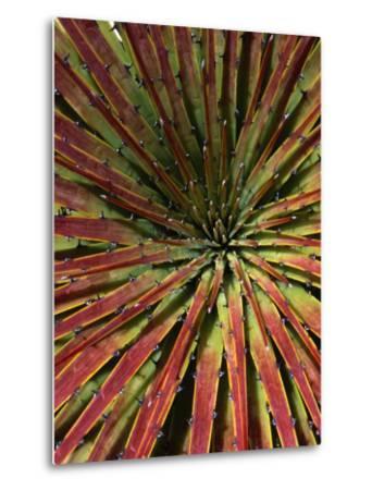 Detail of Spiky-Leafed Puya (Bromeliad), Cajas National Park, Azuay, Ecuador-Grant Dixon-Metal Print
