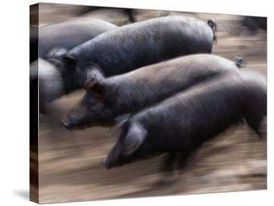 Black Iberico Pigs, Andalucia, Spain-Oliver Strewe-Stretched Canvas Print