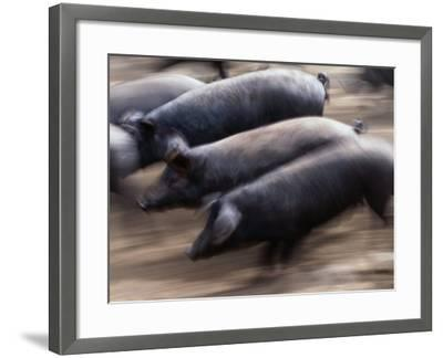 Black Iberico Pigs, Andalucia, Spain-Oliver Strewe-Framed Photographic Print