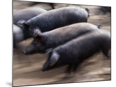Black Iberico Pigs, Andalucia, Spain-Oliver Strewe-Mounted Photographic Print