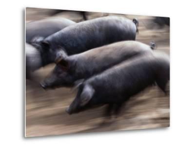 Black Iberico Pigs, Andalucia, Spain-Oliver Strewe-Metal Print