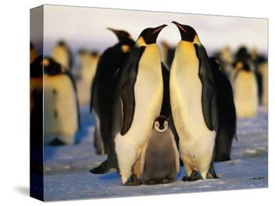 Emperor Penguins with Chick, Dawson-Lambton Glacier, Weddell Sea, Antarctica-David Tipling-Stretched Canvas Print