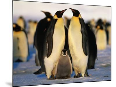 Emperor Penguins with Chick, Dawson-Lambton Glacier, Weddell Sea, Antarctica-David Tipling-Mounted Photographic Print