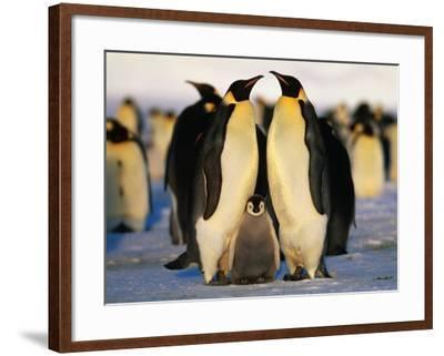 Emperor Penguins with Chick, Dawson-Lambton Glacier, Weddell Sea, Antarctica-David Tipling-Framed Photographic Print