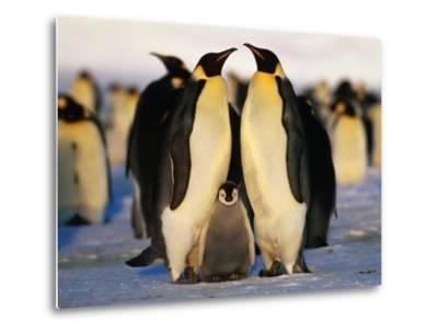 Emperor Penguins with Chick, Dawson-Lambton Glacier, Weddell Sea, Antarctica-David Tipling-Metal Print