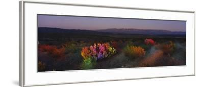 Flowers in a Field, Big Bend National Park, Texas, USA--Framed Photographic Print