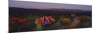 Flowers in a Field, Big Bend National Park, Texas, USA--Mounted Photographic Print