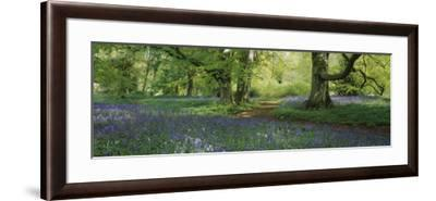 Bluebells in a Forest, Thorp Perrow Arboretum, North Yorkshire, England--Framed Photographic Print