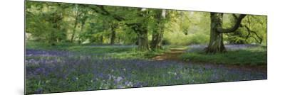 Bluebells in a Forest, Thorp Perrow Arboretum, North Yorkshire, England--Mounted Photographic Print