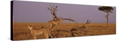 Two Cheetahs in the Wild, Africa--Stretched Canvas Print