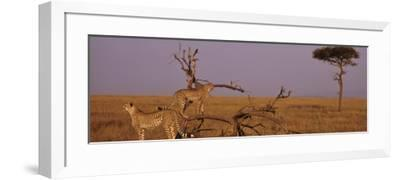 Two Cheetahs in the Wild, Africa--Framed Photographic Print