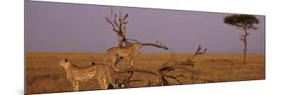 Two Cheetahs in the Wild, Africa--Mounted Photographic Print