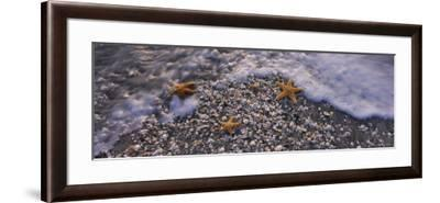 Three Starfish on the Beach, Gulf of Mexico, Florida, USA--Framed Photographic Print