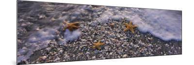 Three Starfish on the Beach, Gulf of Mexico, Florida, USA--Mounted Photographic Print