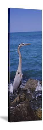 Great Blue Heron Perching on a Rock, Gulf of Mexico, Florida, USA--Stretched Canvas Print