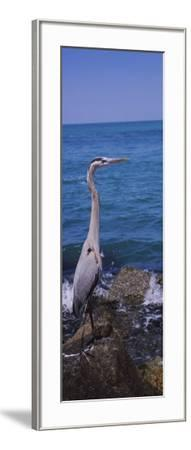 Great Blue Heron Perching on a Rock, Gulf of Mexico, Florida, USA--Framed Photographic Print