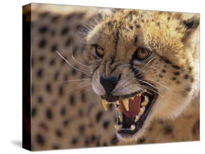 Cheetah Snarling (Acinonyx Jubatus) Dewildt Cheetah Research Centre, South Africa-Tony Heald-Stretched Canvas Print