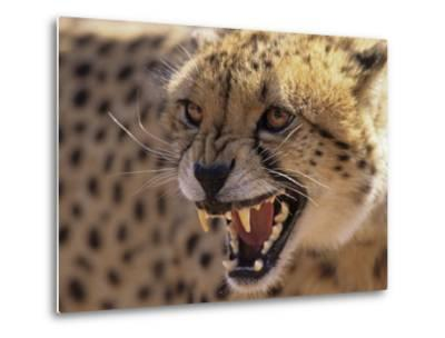 Cheetah Snarling (Acinonyx Jubatus) Dewildt Cheetah Research Centre, South Africa-Tony Heald-Metal Print