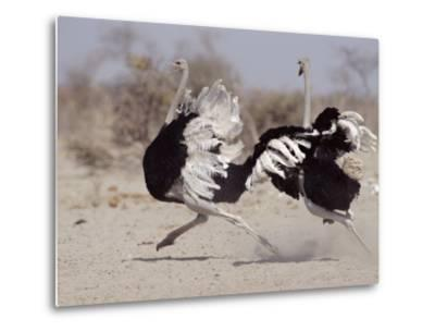 Two Male Ostriches Running During Dispute, Etosha National Park, Namibia-Tony Heald-Metal Print