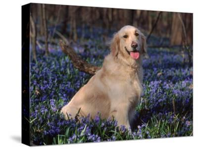 Golden Retriever (Canis Familiaris) Among Bluebells, USA-Lynn M^ Stone-Stretched Canvas Print