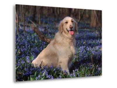 Golden Retriever (Canis Familiaris) Among Bluebells, USA-Lynn M^ Stone-Metal Print