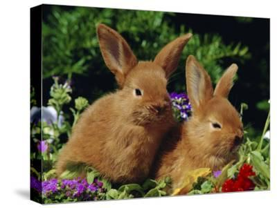 New Zealand Domestic Rabbits and Flowers-Lynn M^ Stone-Stretched Canvas Print