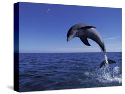 Bottlenose Dolphin Leaping, Bahamas-John Downer-Stretched Canvas Print